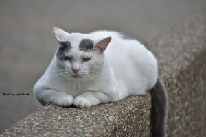 A white cat with gray spots on the head sitting on a stone divider.